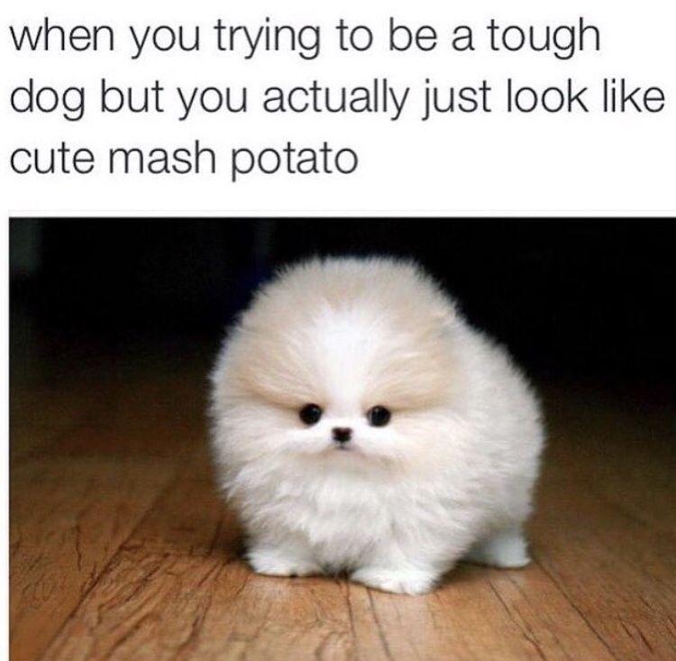 entertaining Pom memes