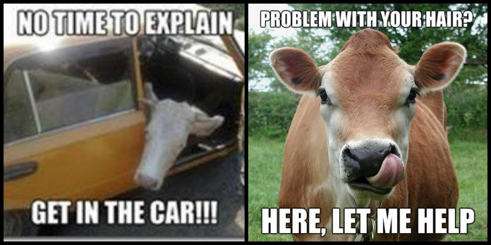 100+ Cow Memes That Will Make You Say Moo!
