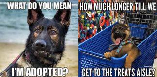 125+ German Shepherd Memes That Will Make You Say Woof, Woof!