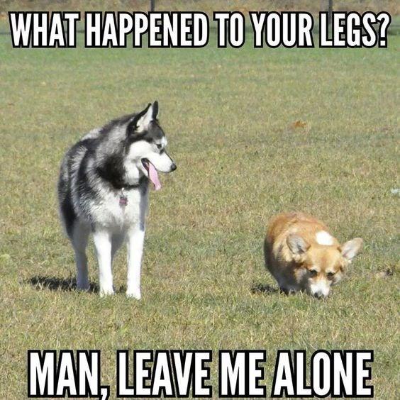 Hilarious corgi memes