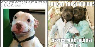 Viral Pitbull Memes Geeks On Coffee