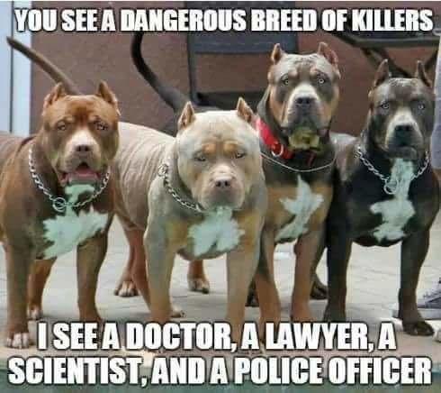high-spirited pitbull memes