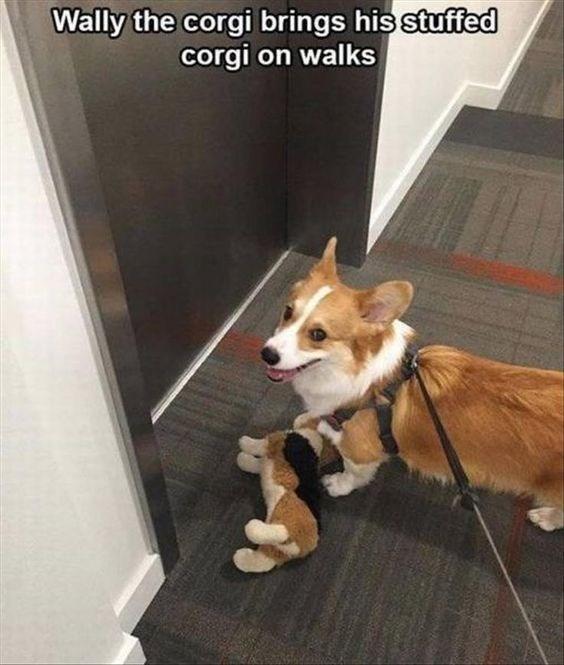 rib-tickling corgi memes