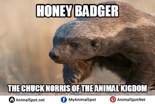 animated Honey Badger memes