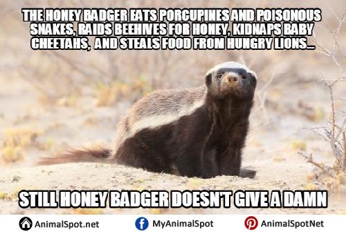 high-spirited Honey Badger memes